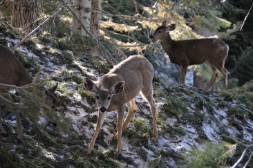 Precious Deer