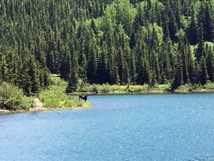 Moose in Far Distance