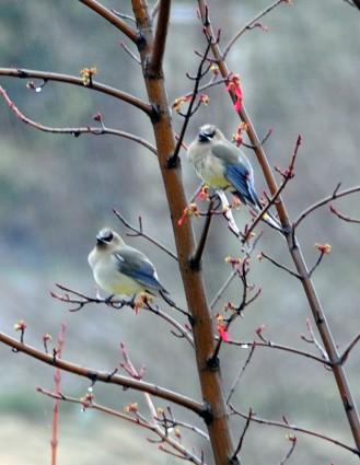 CedarWaxwings Pair March2012