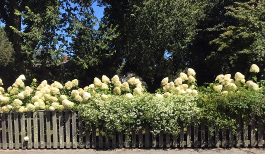 Hydrangeas Everywhere